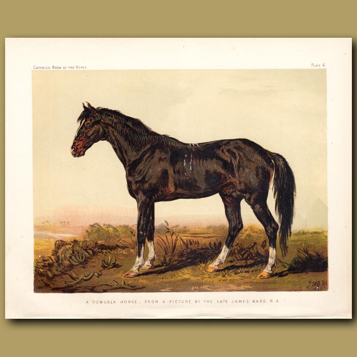 Antique print. A Dongola Horse from a picture by the late James Ward R.A
