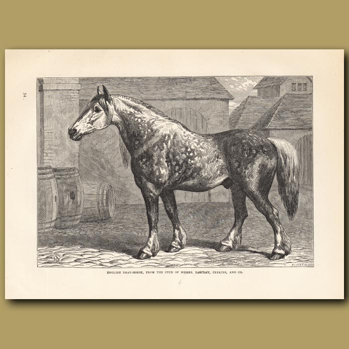 Antique print. English Dray-Horse, from the stud of Mesers. Barclay, Perkins and Co