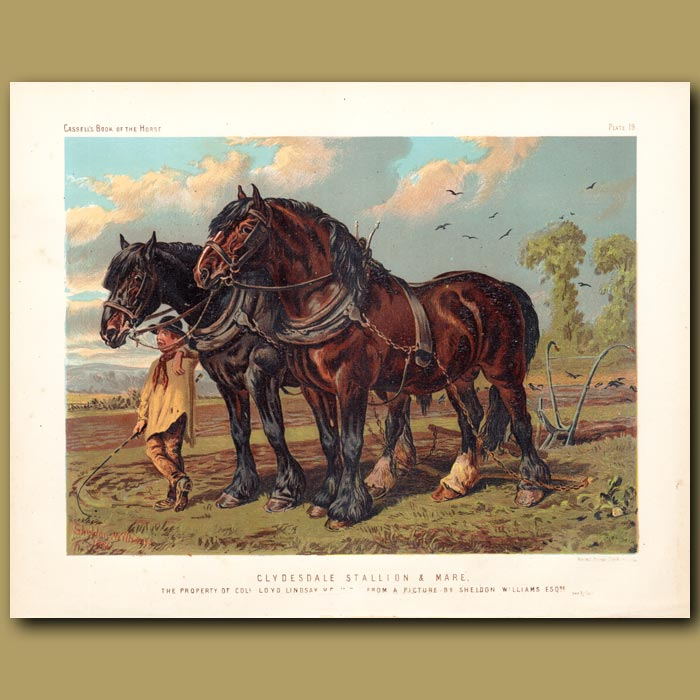 Antique print. Clydesdale Stallion and Mare