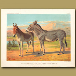 Abyssinian Wild Male Ass And Female Indian Onager