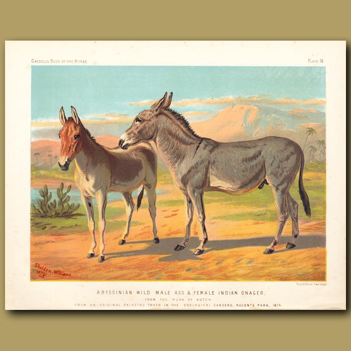 Antique print. Abyssinian Wild Male ass and female Indian Onager