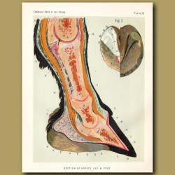 Section Of Horse's Leg And Foot