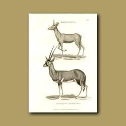 Klipspringer And Egyptian Antelope