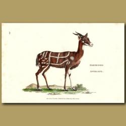 Harnessed Antelope
