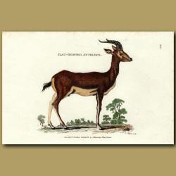 Flat Horned Antelope