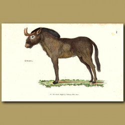 Gnu Or Wildebeest