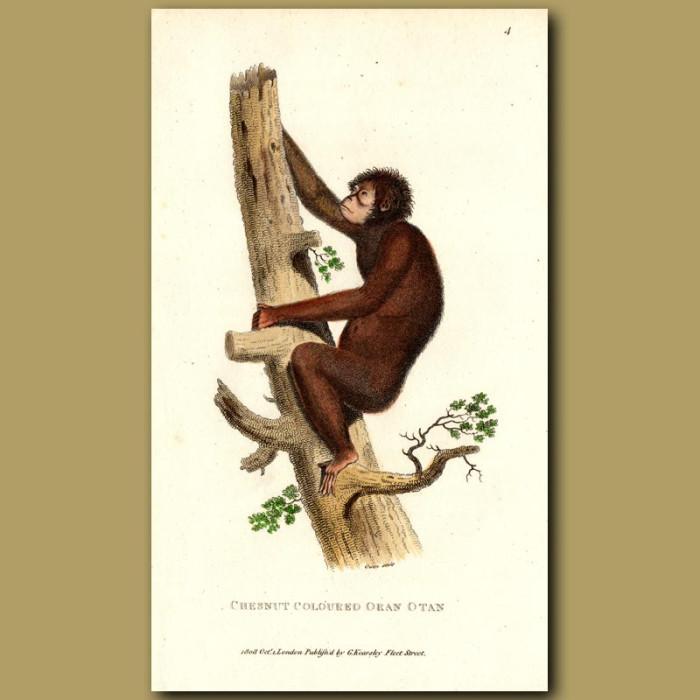 Antique print. Chestnut Orang Utan
