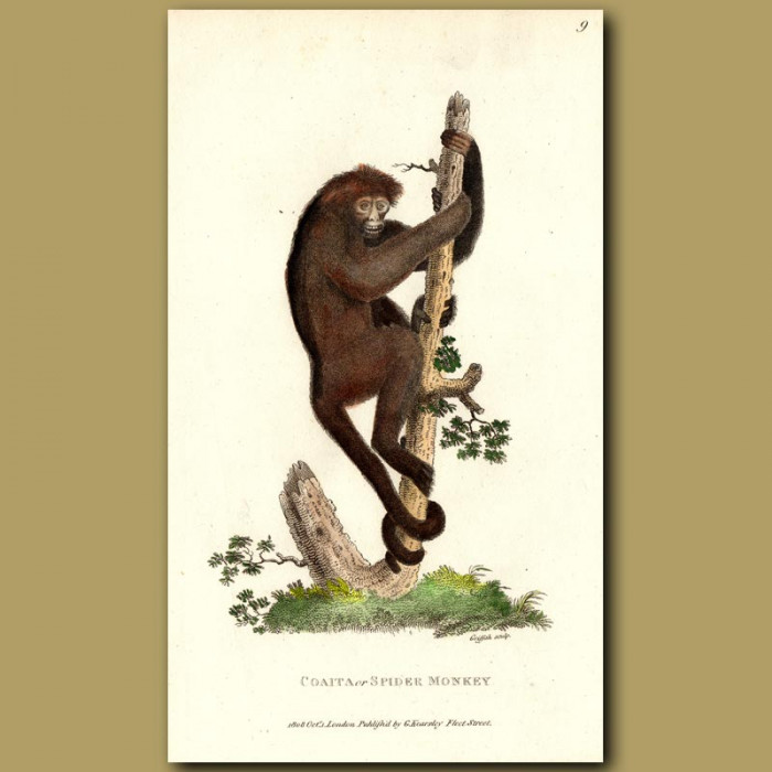 Antique print. Coaita Or Spider Monkey