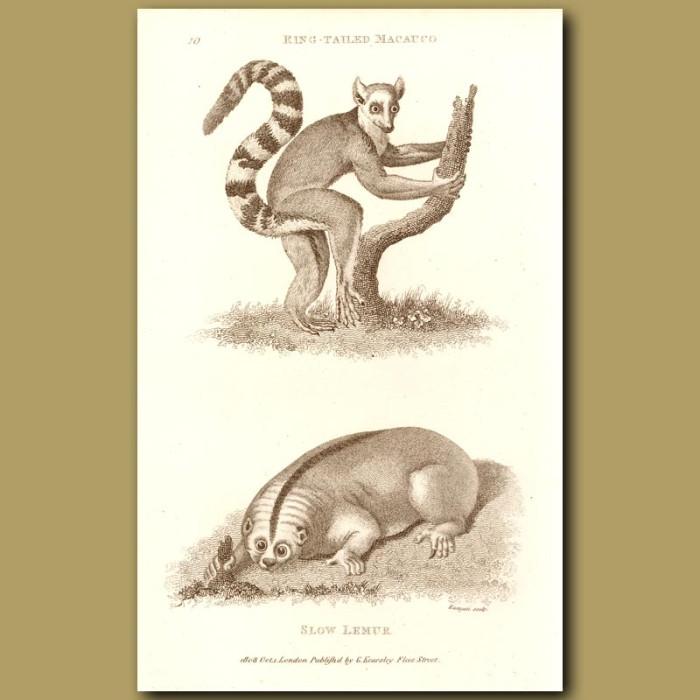 Antique print. Slow Lemur
