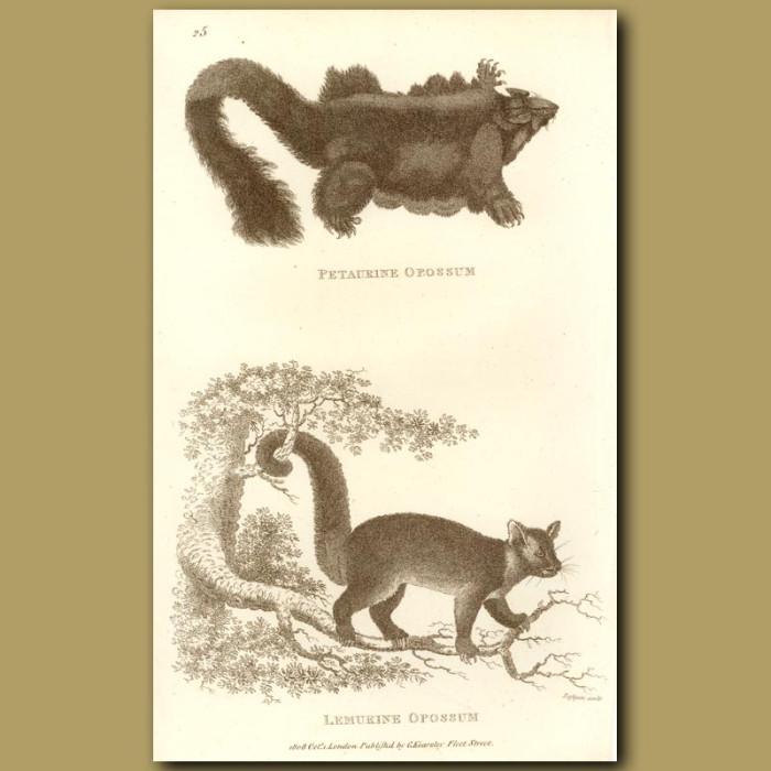 Antique print. Petaurine Opossum And Lemurine Opossum