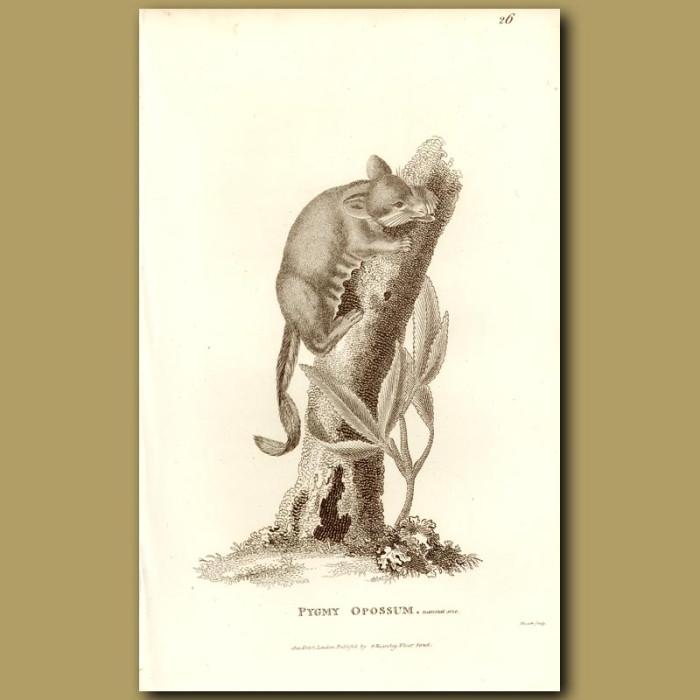 Antique print. Pygmy Opossum