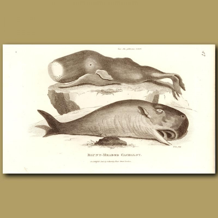 Antique print. Blunt Headed Cachalot Whale