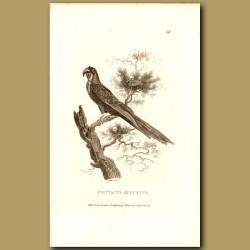 August Amazon Parrot
