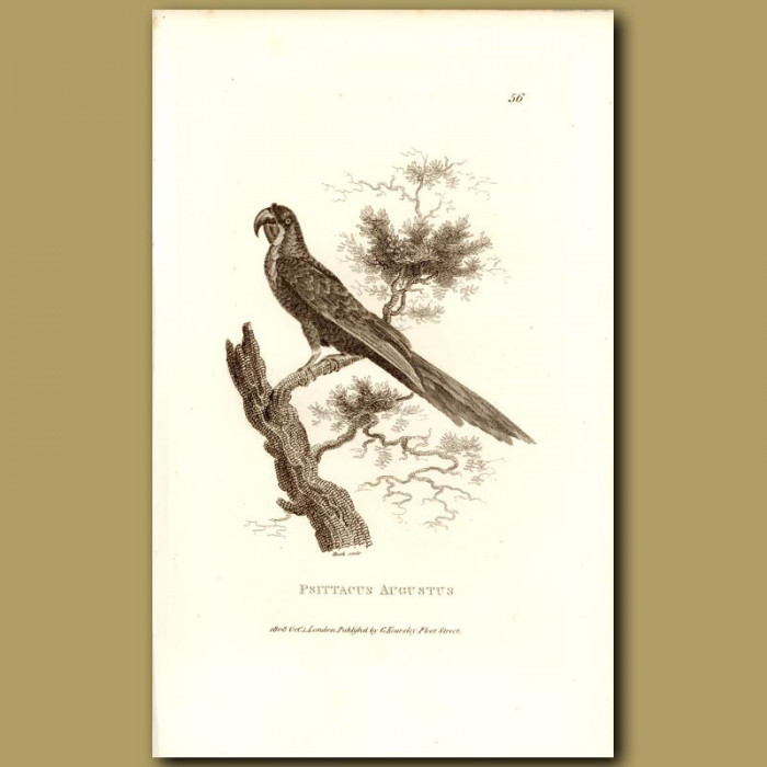 Antique print. August Amazon Parrot