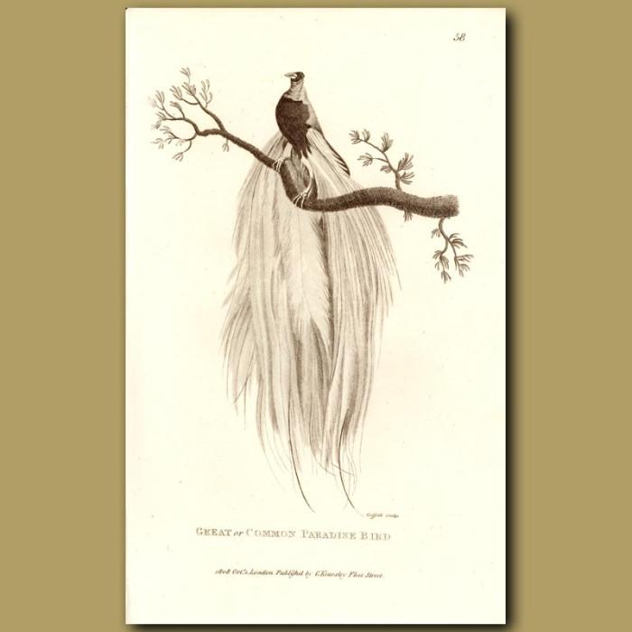 Antique print. Great Or Common Paradise Bird