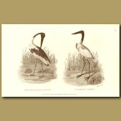 New Holland Jabiru And Common Jabiru