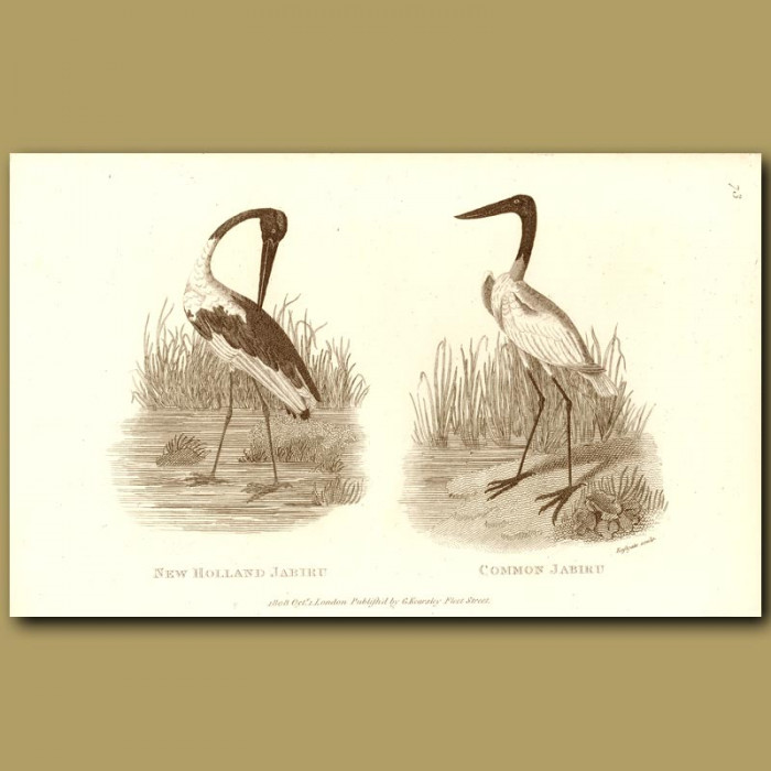 Antique print. New Holland Jabiru And Common Jabiru