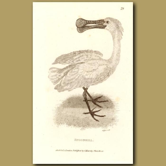 Antique print. Spoonbill
