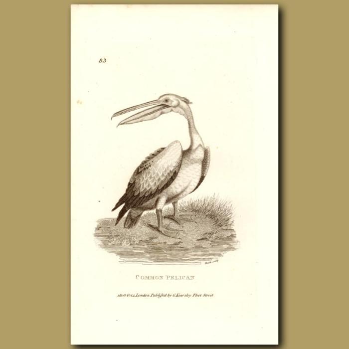 Antique print. Common Pelican