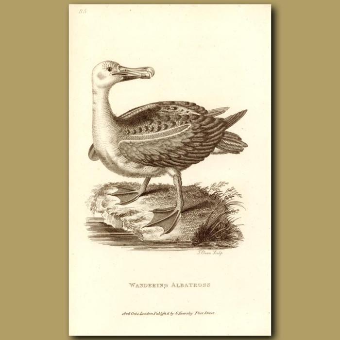 Antique print. Wandering Albatross