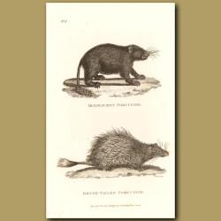 Iridescent Porcupine & Brush-Tailed Porcupine