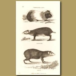 Guinea Pig, Agouti And Aguti