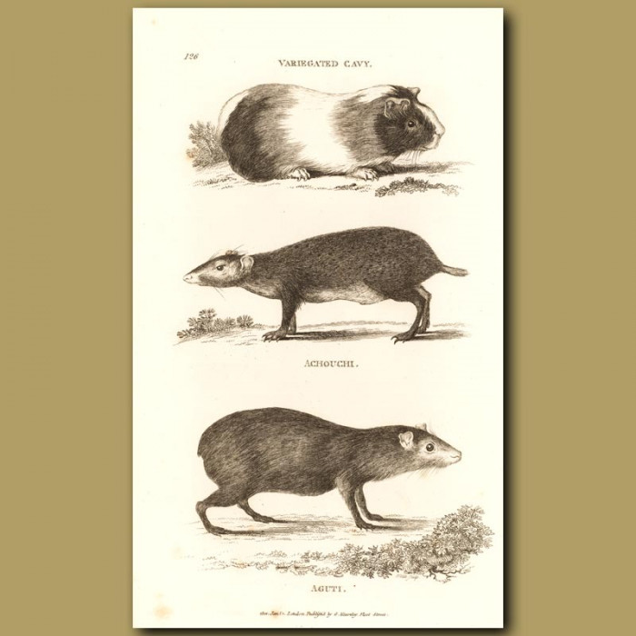 Antique print. Guinea Pig, Agouti And Aguti