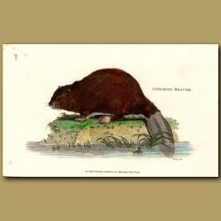 Common Beaver