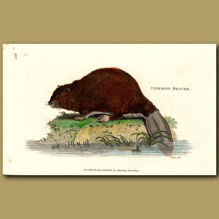 Antique print. Common Beaver