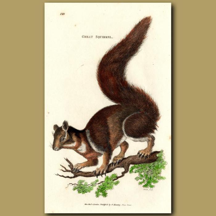 Antique print. Great Squirrel