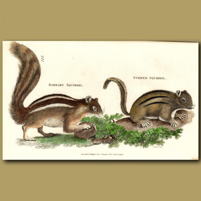 Antique print. Barbary And Striped Squirrels