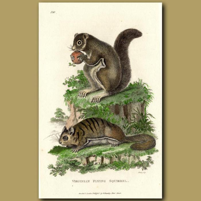 Antique print. Virginian Flying Squirrel