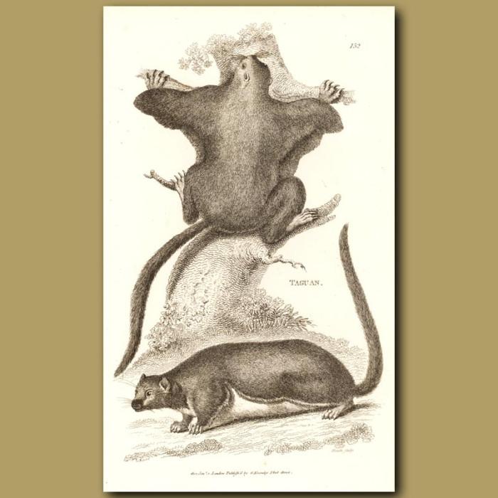 Antique print. Taguan - Flying Squirrel