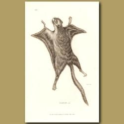 Taguan - Flying Squirrel