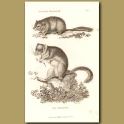Common Dormouse & Fat Dormouse