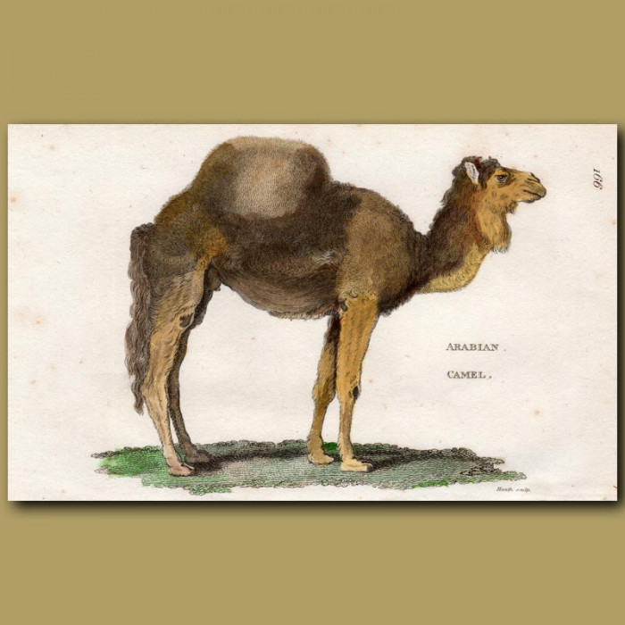 Antique print. Arabian Camel