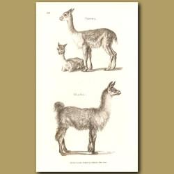 Llama & Vicuna