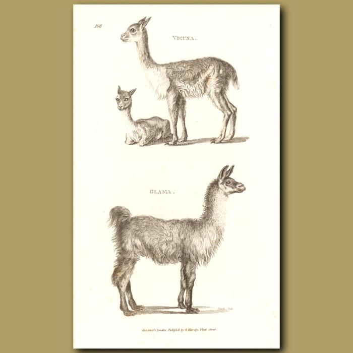 Antique print. Llama & Vicuna