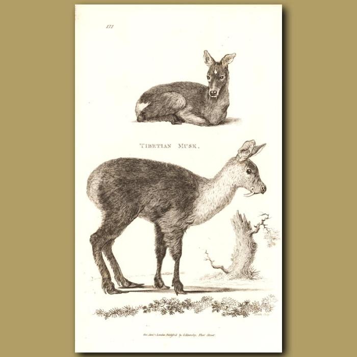 Antique print. Tibetan Musk Deer