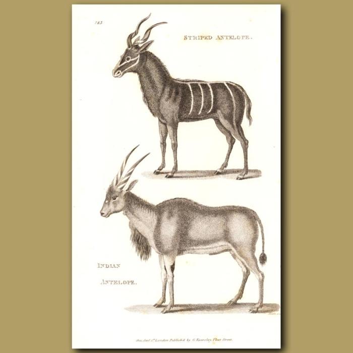 Antique print. Striped & Indian Antelope