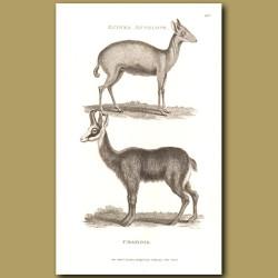 Guinea Antelope and Chamois