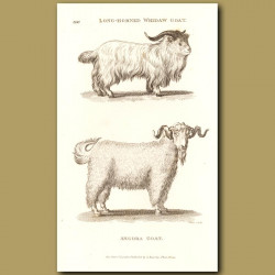 Long Horned Whidaw And Angora Goats