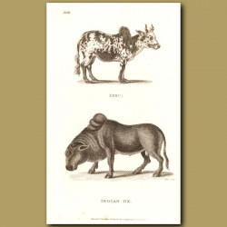 Zebu & Indian Ox