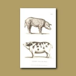 Common Hog