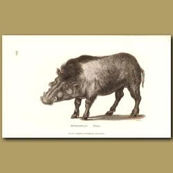 Ethiopian Hog