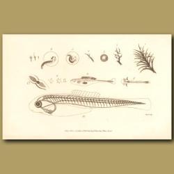 Development Of A Fish