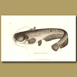 Cat Fish (European Silure)