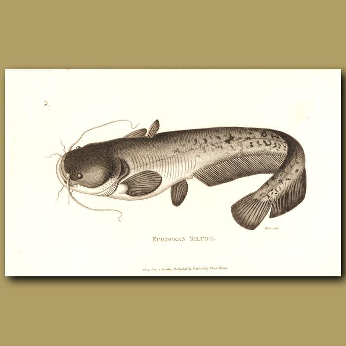 Antique print. Cat Fish (European Silure)