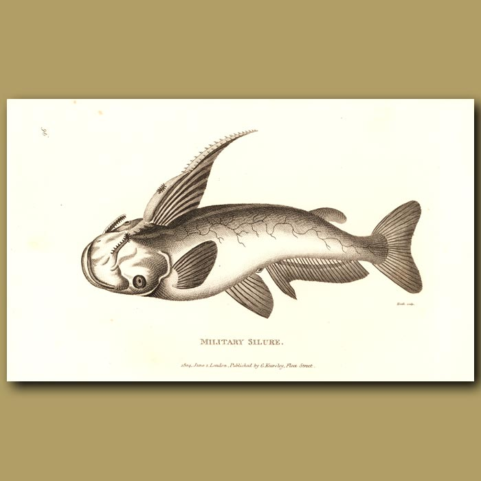 Antique print. Cat Fish (Military Silure)