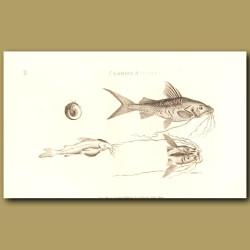 Cat Fish (Clarias Silure)